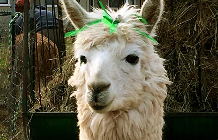 alpaca with a bow